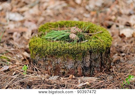 Pine Stump With Moss, Pine Needles And Cones