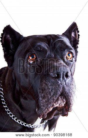 Cane Corso Dog Closer Look
