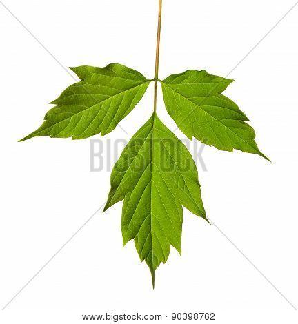 Green Acer Negundo Leaf