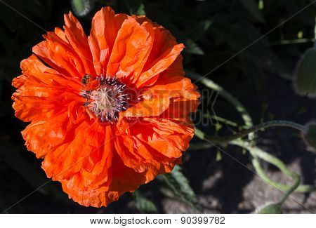 Flowering of decorative poppy.