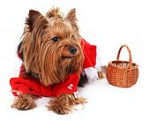 stock photo of yorkshire terrier  - Cute Yorkshire terrier dog isolated on white - JPG