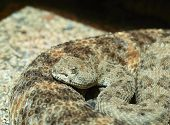 picture of western diamondback rattlesnake  - a Closeup of a Western Diamondback Rattlesnake - JPG