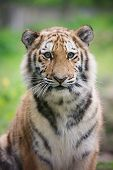 image of zoo  - young amur tiger cub portrait in the zoo - JPG
