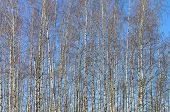 pic of slender  - Background from the slender young birches against the blue sky - JPG