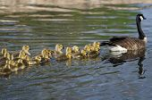 foto of mother goose  - Adorable Little Goslings Swimming along with Mom - JPG