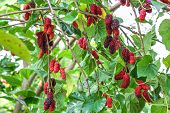stock photo of mulberry  - Fresh mulberry on the branch, a berry fruit in nature ** Note: Visible grain at 100%, best at smaller sizes - JPG