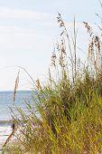 image of shoreline  - Characteristic grasses along the shoreline at Myrtle Beach South Carolina - JPG