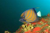 pic of angelfish  - Blue - JPG