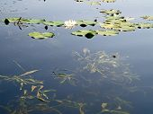 foto of water lily  - Flowers and leaves of water lilies on the water surface - JPG