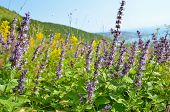 stock photo of salvia  - Wild salvia flowers on mountain meadow close up view - JPG