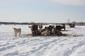 picture of transfer  - Cows in a snow covered feed - JPG