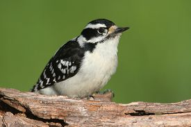 image of woodpecker  - Downy Woodpecker  - JPG