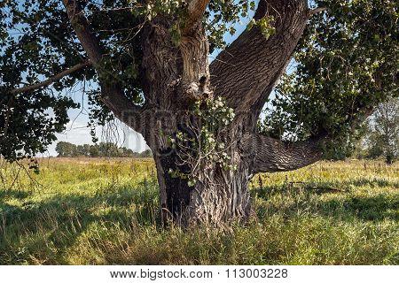 centenary poplar on a meadow