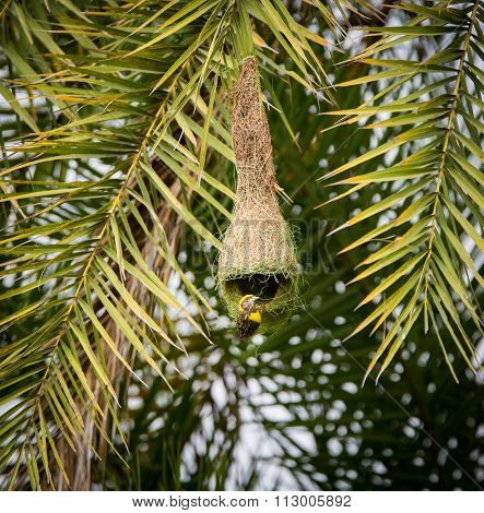 Baya Weavers nest building near Bangalore India.