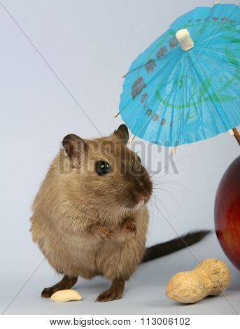 Female Rodent Relaxing Under Summer Umbrella With Food