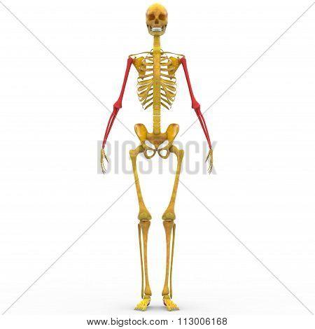 Human Skeleton Humerus, Radius, Ulna bones