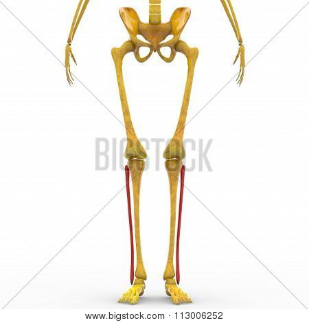 Human Skeleton Fibula Bones