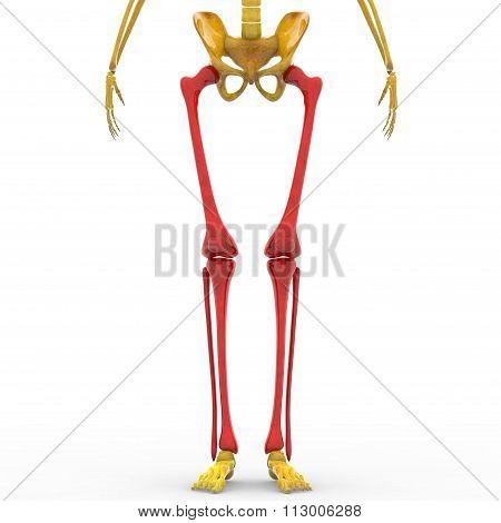 Human Skeleton Tibia, Femur and Fibula Bones