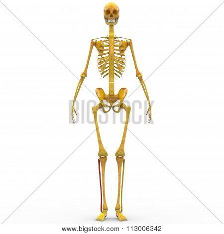 Human Skeleton Fibula Bone