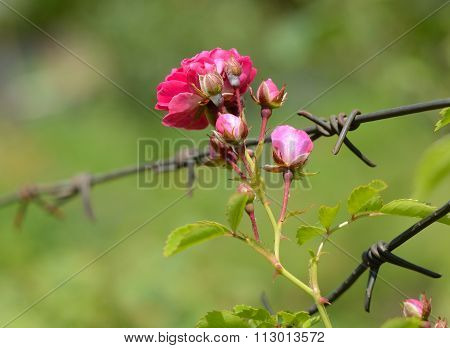 Flower rose and barbed wire