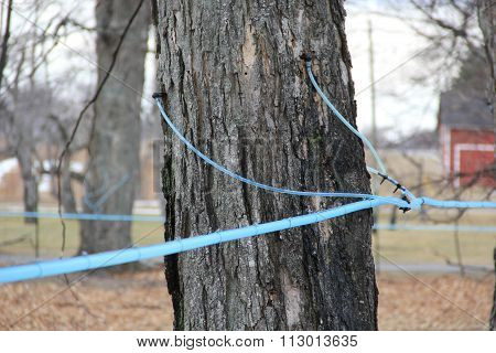 Maple tree that was tapped