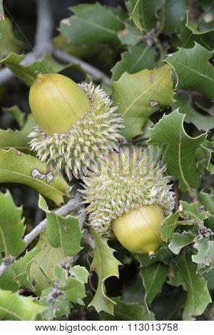 Kermes Oak Acorns