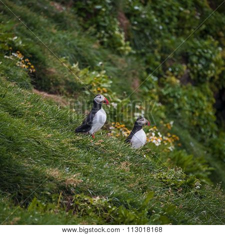 Two Icelandic Puffins At Remote Islands In Iceland, Summer, 2015