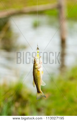 Stripped Bass on Fishing Line