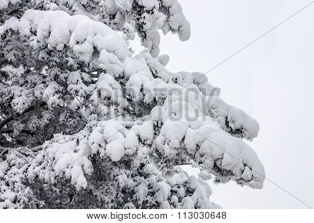 Pine In A Snow