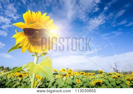 Field Sunflower Wear Glasses Protect The Sun.