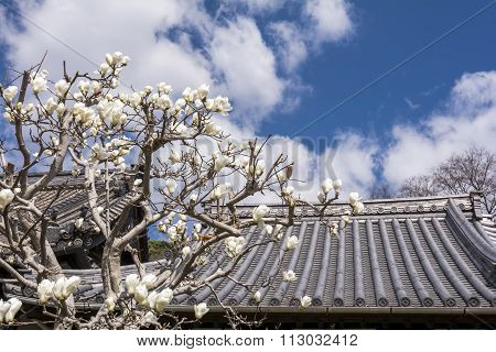 Yulan magnolia and roof