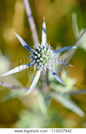 Flat Sea Holly Steel Blue Eryngo Green Background (eryngium Planum)