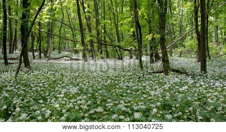 Spring Flowers In Forest