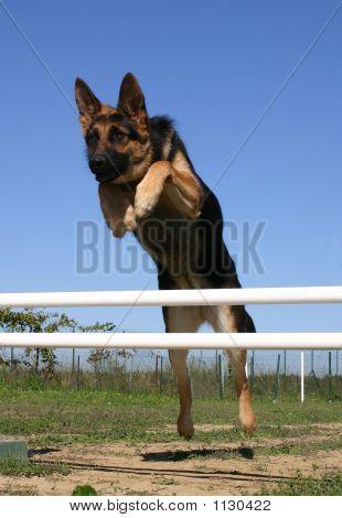 Jumping German Dog
