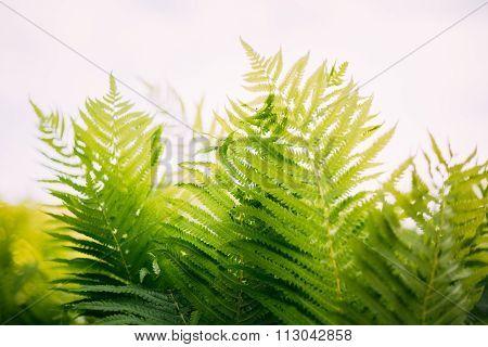 Natual green fern background. Summer season