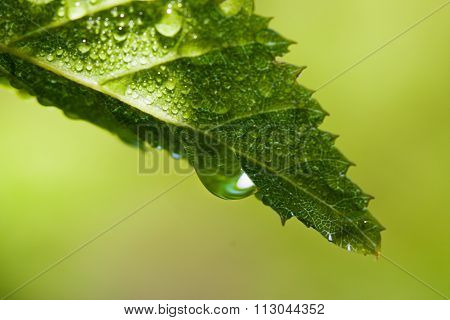 Early Morning Dew On Green Leaf