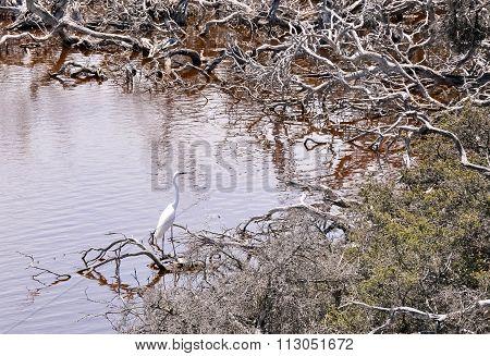 White Heron: Lake Coogee Wetlands