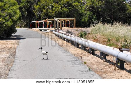 Why Did The Ibis Cross the Road?