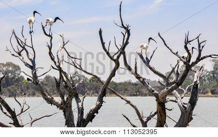Facing Right: Australian White Ibises