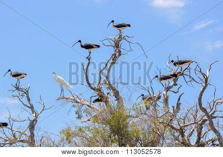 White Heron and Australian Ibises: Wading Birds