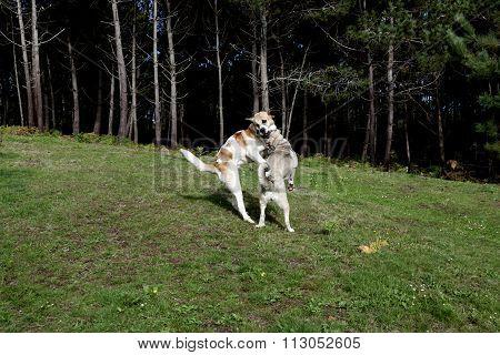 Mastiff Playing