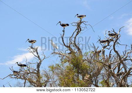 Australian Wading Birds: Inclusion