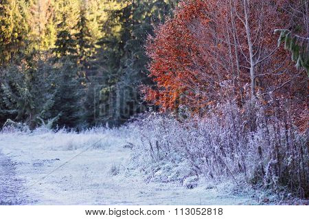 Morning Frost. Autumn Hoarfrost On The Grass. Frost On Bushes. Autumn Foliage. Golden Leaves.