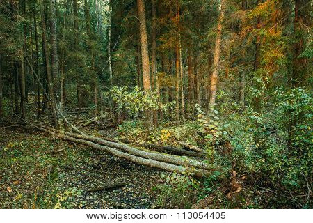 Wild autumn forest. Fallen trees in forest reserve at sunset