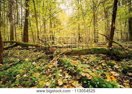 Wild autumn forest. Fallen trees in coniferous forest reserve