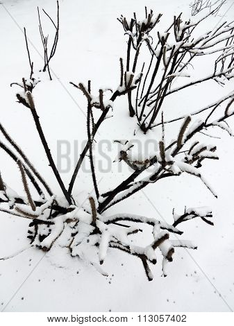 Bushes wrinkly rose (Rosa rugosa) in snow