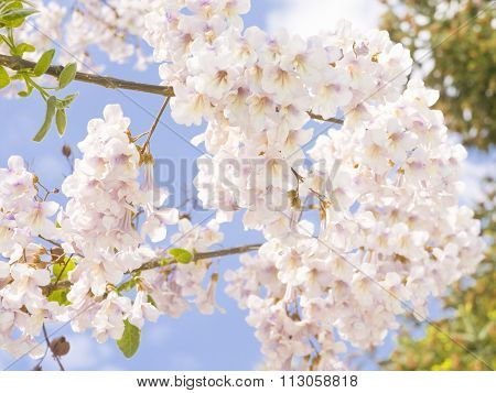 Paulownia Tomentosa, Empress Tree, Princess Tree