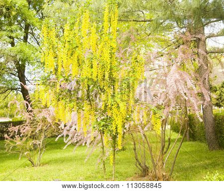 Laburnum And Tamarix