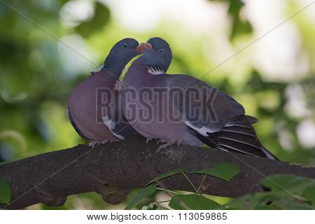 Courtship Of Two Pigeon