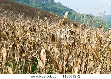 The Dried Corn Field  - Fall Harvest